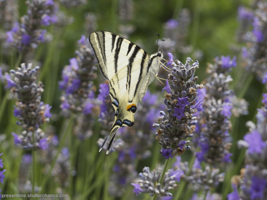 photoblog image Swallowtail in Lavender