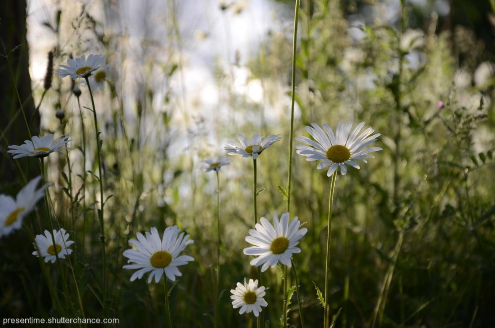 photoblog image Daisies